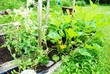 Flourishing Backyard Vegetable Garden on a Hot Summer Day