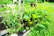Flourishing Backyard Vegetable Garden on a Hot Summer Day
