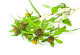 bur-marigold: flowers, leaves and seeds isolated on white poster