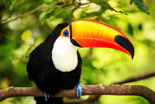 """Постер, картина, фотообои """"Colorful tucan in the aviary"""""""