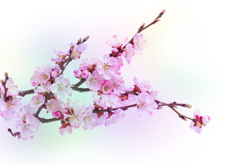 Spring flowering with apricot branch on colorful blurred backgro