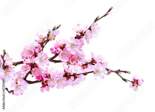 Fotobehang Kersen Spring flowering with apricot branch