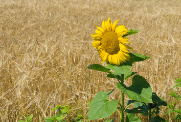 Sunflower at flowering time against corn field