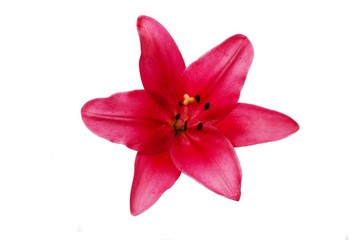 Maroon Lily Flower Isolated Over a White Background