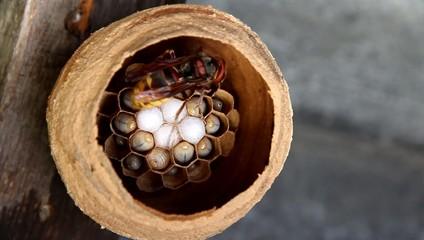 Hornet feed their larvae in nest