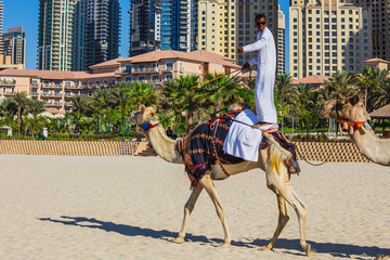 Camel on Jumeirah Beach in Duba