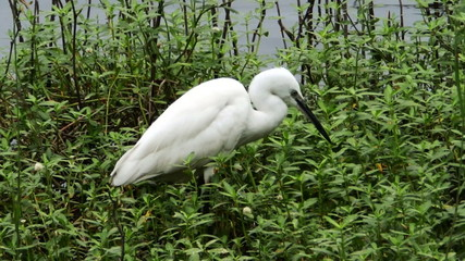 white heron in a swamp