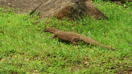 Lizard walks on the bright green grass