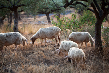 Sheep walking in mountain in Kalamata