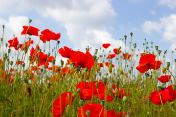 Vibrant, Red Poppies