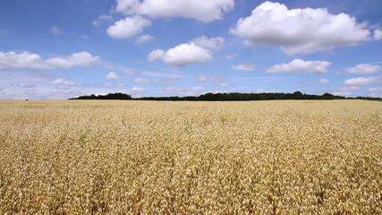 Oat field in anticipation of maturation.