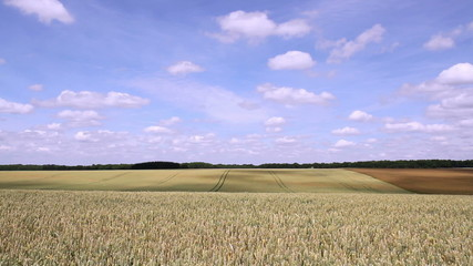 Wheat field in anticipation of maturation.