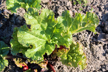 Young sprouts of a rhubarb in the spring