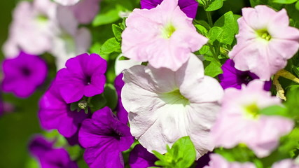 Pink and purple petunias in park