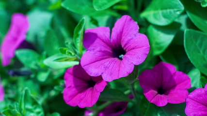The flower of a purple petunia trembles on a wind