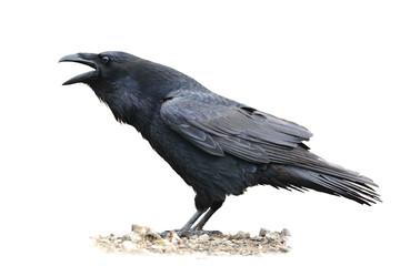 Raven Screaming on White Background