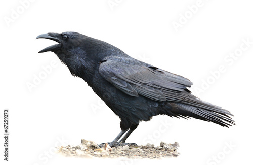 Foto op Aluminium Vogel Raven Screaming on White Background