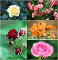 Collage of beautiful roses in garden