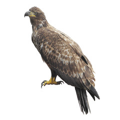 Golden eagle isolated on white background.