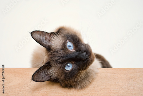 canvas print picture Siam Katze