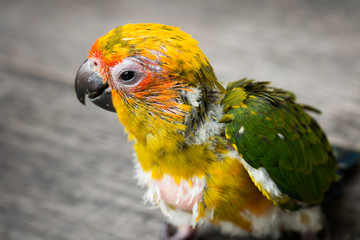 Baby Sun Conure Parrot on the wooden background