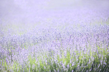 Lavender Field With Purple and Green
