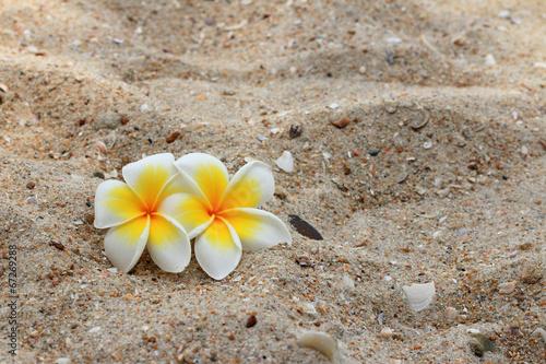 bialy-frangipani-kwiat-na-piasku
