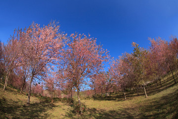 Wild Himalayan cherry blossoms is  blooming