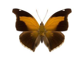 isolated tropical butterfly Historis odius