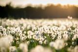dandelion field at sunset - 67272656