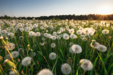 dandelion field at sunset
