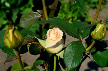 Бутоны розы....