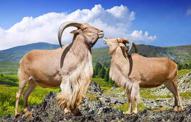 Standing couple of barbary sheeps  in wildness