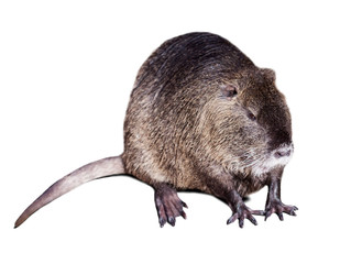 Coypu over white background with shade