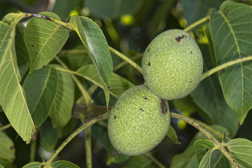 nut fruit on a tree