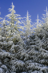 Snow-covered firs  vertical green trees with blue sky
