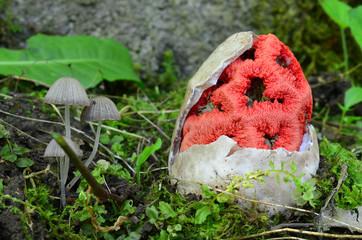 Witch heart mushroom