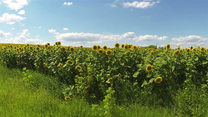 Field  of sunflowers and sky. Aerial