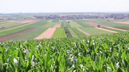 Cornfield in Vojvodina region