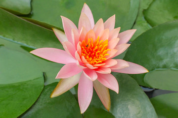 Thai Lotus Flower - Flora