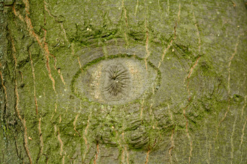Eye knot in tree trunk