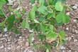 piante di soia_ siccità