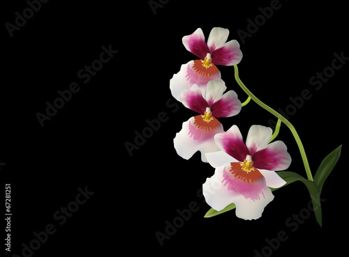 white and red orchid blossom isolated on black