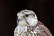 Falco cherrug - Faucon sacré - Saker Falcon