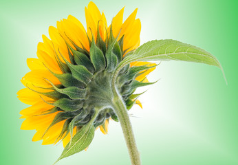 Sunflower on colorful background
