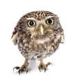 canvas print picture - Little owl