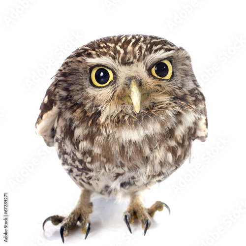 canvas print picture Little owl