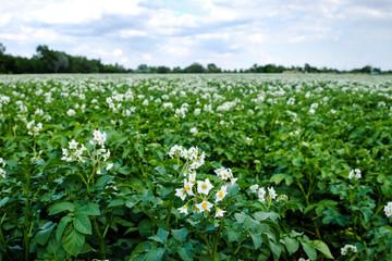 Kartoffelpflanze mit Blüte