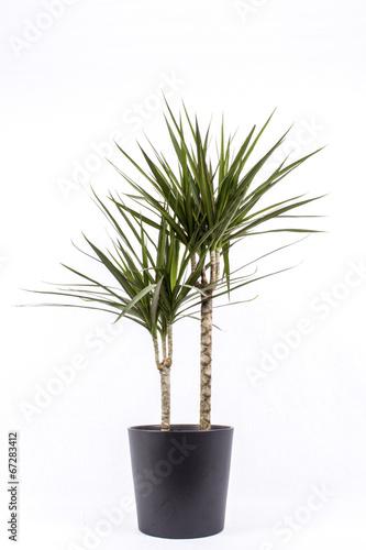 Staande foto Palm boom Drachenbaum
