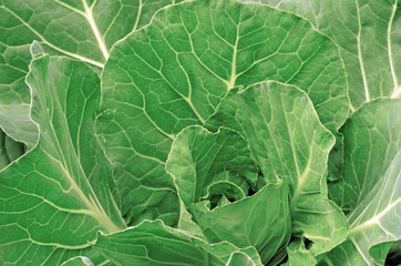 Cabbage in the garden as a background